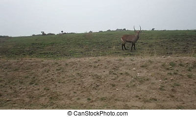Waterbuck in field, Queen Elizabeth National Park, Uganda -...