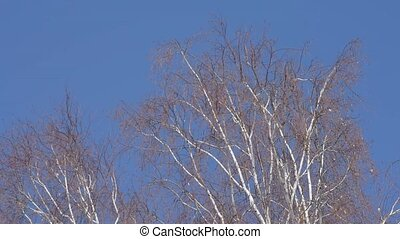 Birch branches spring in the wind - Dry tree branch on a...