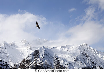 Bald eagle over mountains