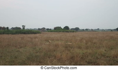 Lionesses in field - Lionesses laying in grassy field in...
