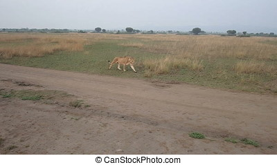 Lioness on dirt road - Lioness walking on dirt road in...