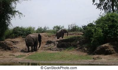 Elephants on banks of Kazinga Channel, Queen Elizabeth...