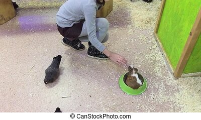 cavy guinea pig. Little girl feeding guinea pig on table at...