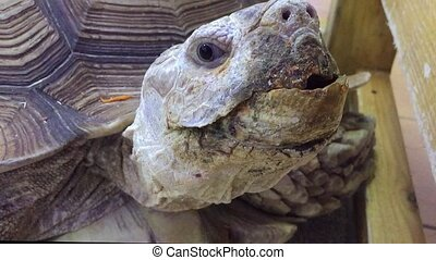 turtle. giant old turtle Dipsochelys gigantea In the contact...