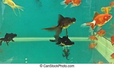 Aquarium fish swimming relaxing in the water meditation