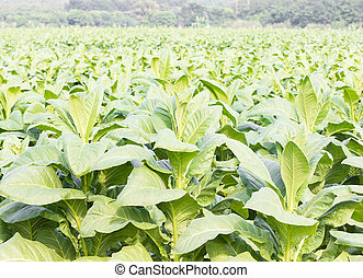 Close up Common tobacco, the Nicotiana tabacum is an...