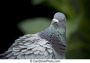 close up head shot and face of pigeon bird against natual...