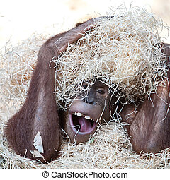 cute orangutan hiding under hay - cute orangutan hiding...