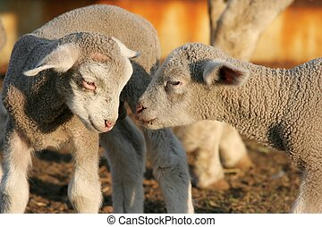 Lambs Greeting - Two small wooly lambs greeting each other