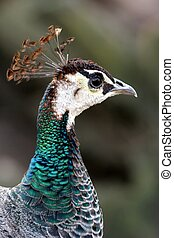 Peahen Profile - Profile of a beautiful peahen with shiny...