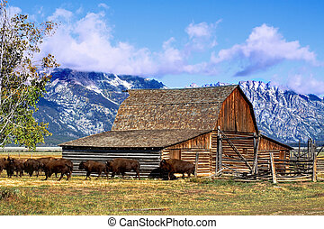 Mormon Row Barn in the Grand Tetons - Iconic Mormon Row Barn...