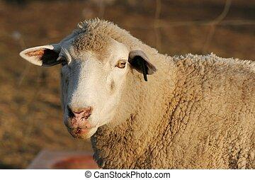 Sheep Portrait - Marino ewe sheep looking at the camera