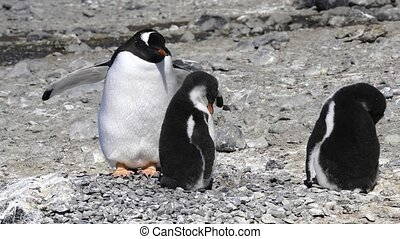 Gentoo Penguin on the nest in Antarctica