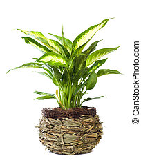 "Window plant ""Dieffenbachia picta"" - Window plant..."