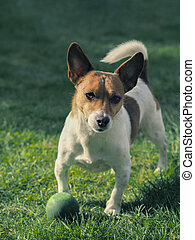 Cute dog with a ball