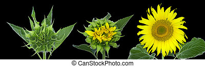 A giant russian sunflowers starting to develop from a bud to...