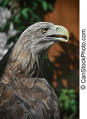portrait white tailed eagle on a red background