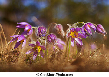 pasque flower - Purple pasque flower blooming in the meadow