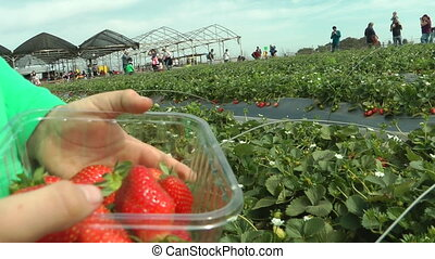 Picking strawberry in the field - Shot of Picking strawberry...