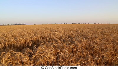 Pan over wheat field on sunset - Shot of Pan over wheat...