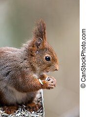 Cute young red squirrel eating sunflower seeds from a bird feeder