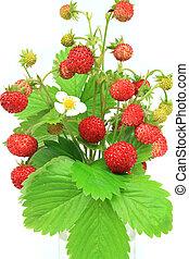 Wild strawberry - Wild strawberries - beautiful natural...