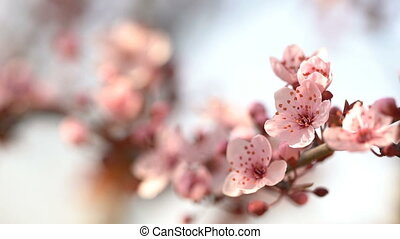 Blooming pink sakura - Beautiful sakura. Flowering pink...