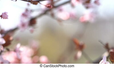 Blooming pink sakura on a soft blurred background