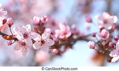 Blooming sakura - Blooming pink sakura on a soft blurred...