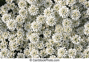 Iberis sempervirens 'Snow Cushion' ... - Iberis sempervirens...