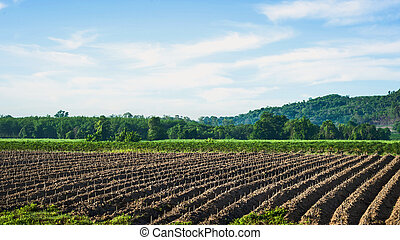 Cassava plantation field Northeast of Thailand