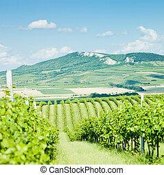 vineyards, Czech Republic - vineyards, Palava, Czech...