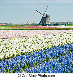 windmill in Netherlands - windmill with hyacinth field near...