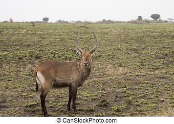 Waterbuck standing in field Queen Elizabeth National Park, Uganda
