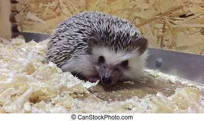 hedgehog.Young hedgehog In the contact zoo animal children