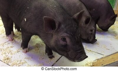 Black pig animal. black pigs in a contact zoo pig - Black...