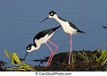 Black-necked Stilt (Himantopus mexicanus) - Pair of...