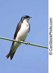 Tree Swallow on a wire - Tree Swallow (tachycineta bicolor)...