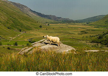 Nant Ffrancon Pass from Idwal Cottage with sheep - View of...