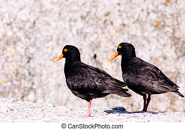 Eurasian Oystercatcher - Oystercatcher in the nature...