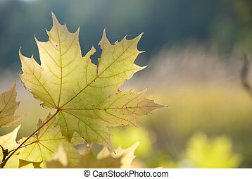 Autumn leaves , very shallow focus - Autumn leaves and sun,...
