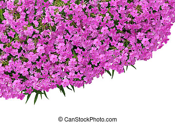 Forever Pink Phlox flower isolated over white background