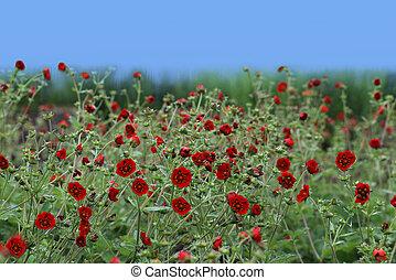 Geum chiloense Flower - Geum chiloense 'Red Dragon' flower...