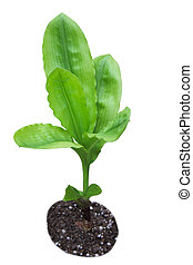 Parallel Venation Leaves - Young home plant wih parallel...