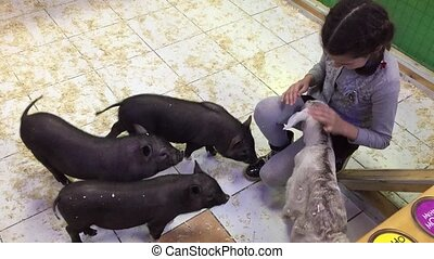 Black pig. Girl playing with black pigs in a contact zoo...