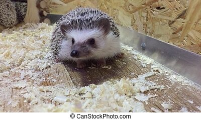 hedgehog.Young hedgehog In the contact zoo for children...
