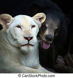 The lion and black bear, Dear friends of different species...