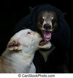 Lion and bear. - White lions kidded with black Bear.