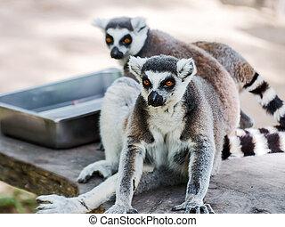 Lemur catta - Ring-tailed lemur (Lemur catta)