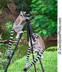 Lemur catta. - Three Ring-tailed lemur (Lemur catta) up on a...